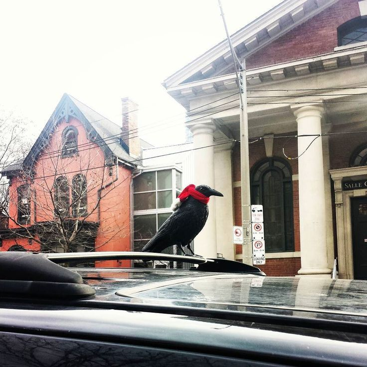 Wean-wean what a #WeatherWednesday in #The6ix! Whether you like this #weathercast or not even the #raven is wearied by the unweally #weather. Time to wean ourselves from this #cold #in #Toronto & beyond the #GTA :-) Comment / #Twitter if you agree to #weatherize your wear this #WonderWednesday