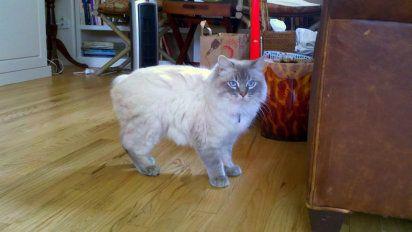 El gato Manx. Un gato sin cola