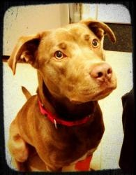 **Ruca** is an adoptable Chocolate Labrador Retriever Dog in Fullerton, CA. Ruca has all the makings of your next best friend. Ruca is a young 2 yr old Chocolate Lab mix. She weighs about 58 lbs. and ...: Labrador Retriever Dogs, Chocolate Labrador Retriever, Chocolates Labrador Retriever
