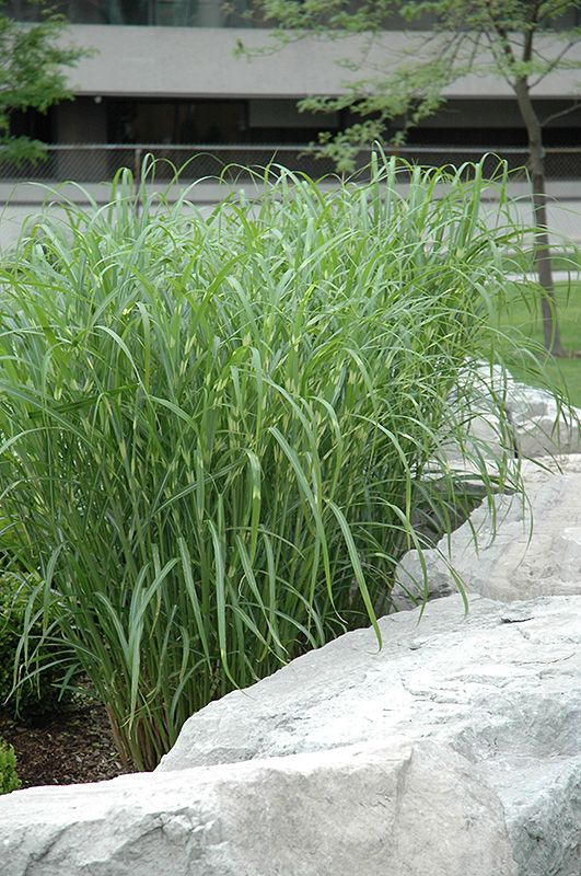 191 best images about horticulture grasses for zones 2 3 for Landscaping with zebra grass