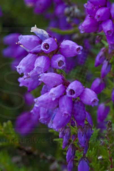 Scottish Heather  ~ That is one serious closeup, I didn't even recognize it was Heather for goodness sake! The things we take for granted when we were amongst them, just about, all the time. wow.