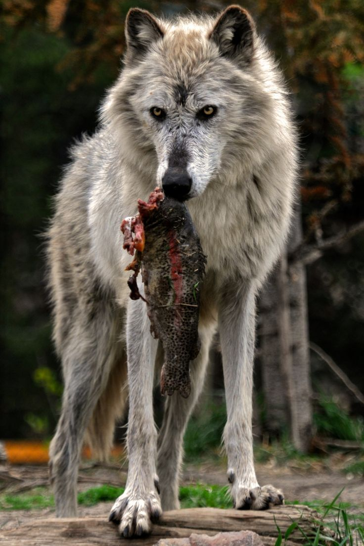 2477 best wolves images on pinterest animals wolf photos and posts