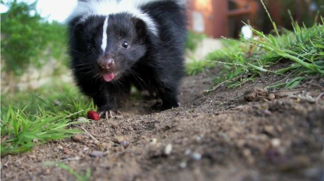 National Skunk Day! by Coast & Canyon Wildlife. We're celebrating National Skunk Day on June 14th!  Oreo is a sweet skunk who has been in the care of Coast and Canyon Wildlife Rehabilitation since he was a 2 week old orphaned baby. Health issues have delayed his return to the wild but in the meantime, he sure enjoys his playtime in the Coast and Canyon yard.