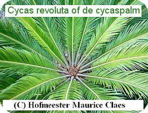 Cycas revoluta, valse sagopalm of cycaspalm soorten tropische planten palmen exotische plant