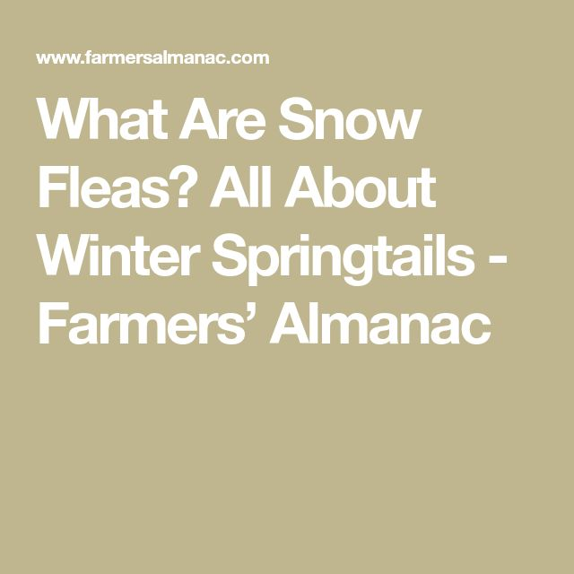 What Are Snow Fleas? All About Winter Springtails - Farmers' Almanac