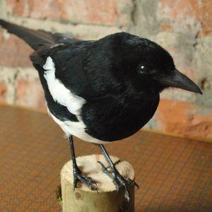 Taxidermy Magpie (Pica pica)