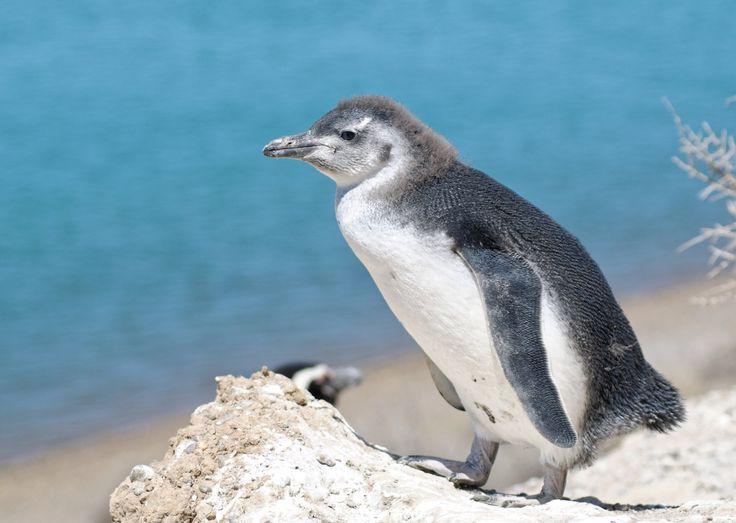 https://flic.kr/p/Kaaaei | Pichones en la caleta Valdés, Argentina | Pingüino de Magallanes. Magellanic penguin. Spheniscus magellanicus. Península Valdés. Chubut. Argentina