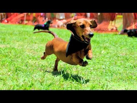 Hawaii Vacation Connection: Doxie Derby of Cuteness