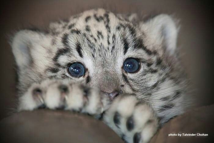 Baby snow leopard...can't take the cuteness