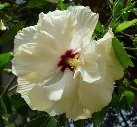 creamy Hibiscus P1120643