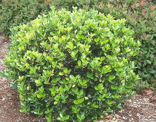 100 best Garden Shrubs images on Pinterest Garden shrubs