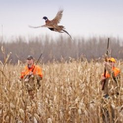 10 Tips for Pheasant Hunting Without a Dog