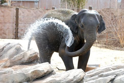 Denver Zoo: Asian Elephants, Elephants Caring, Zoo S Toyota, Denver Zoo Rsquo S, Denverzoo, Toyota Elephant, Extravagant Elephants, Elephant Passage, Denver Zoo S
