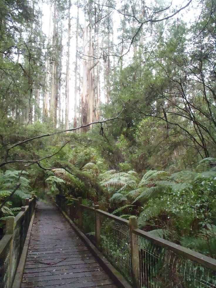 Misty Forest and Bridge in Sherbrooke Forest, Dandenong Ranges Victoria Australia