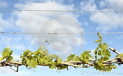 Bright young green grape vine leaves growing from canes wrapped around wire against a blue cloudy sky.