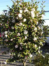 Camellia sasanqua 'Cinnamon Cindy'