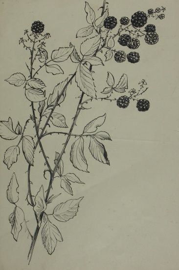 Blackberries 2806 A pen and ink drawing of blackberries on the briar... Buy  original affordable art online