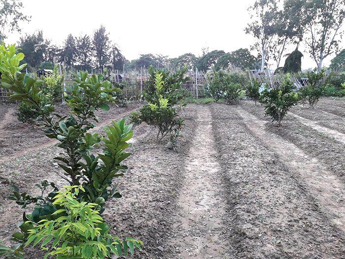 Chọn mua giống cây bưởi Diễn quyết định đến 70% hiệu quả thu hoạch sau này. Do đó bà con cần hết sức lưu ý