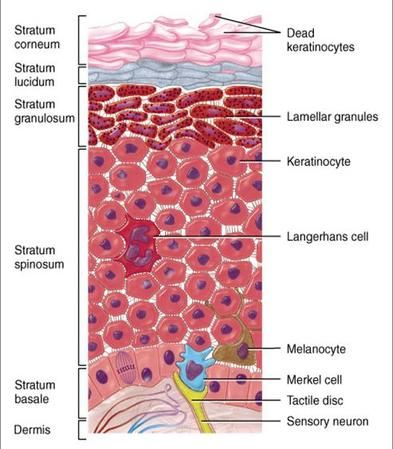 The epidermis consists of multiple layers and cells. From deep to superficial the layers include: stratum basale, spinosum, granulosum, lucid, and corneum. Keratinocytes synthesize the protein keratin. Stem cells differentiate into keratinocytes. Melanocytes synthesize the pigmented protein melanin. Tactile/Merkel cells are associated with a dermal nerve fiber, together called a tactile disc and function in reception for touch. Dendritic/Langerhans cells function in immune response.