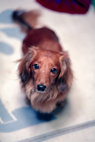 beautiful long hair red Dachshund. How can you resist that face?