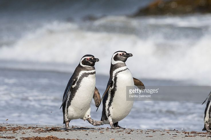 The Magellanic penguin (Spheniscus magellanicus) is a South American penguin, breeding in coastal Argentina, Chile and the Falkland Islands. The Magellanic penguin was named after Portuguese explorer Ferdinand Magellan, who spotted the birds in 1520. Adults have black backs and white abdomens. There are two black bands between the head and the breast, with the lower band shaped in an inverted horseshoe.