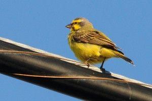 Malinois Waterslager canary - ΕΚΤΡΟΦΕΑΣ ΜΑΛΙΝΟΥΑ : Αγορά  Καναρινιών  ΤΙ πρέπει  Να Ξέρετε