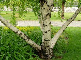 Huş Ağacı Hakkında ; Huş, Betulaceae (huşgiller )familyasının Betula cinsinden ağaçlara denir. Dayanıklı olmasından dolayı her yerde yetişebilir. Çoğunlukla kuzey yarım kürede görülür.  Gövdesinin rengi beyaz veya esmer bozdur. Yaşlandıkça ağacın dalları sarkar ve gövdesinde çatlaklar oluşmaya başlar. Çiçekleri yeşilimsi sarı renktedir.  Huş ağacının odunu mobilya.. Devamı için web sayfamızı ziyaret ediniz.. www.ozturkkontrplak.com #plywood #kontrplak #huş #google #birch #marin