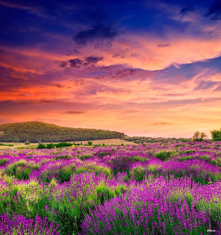 Lavender field in Tihany, Hungary (by F Levente)