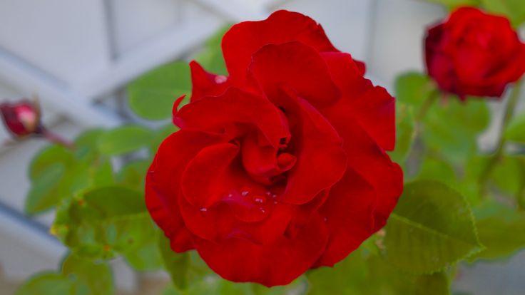 """Rose """"Santana"""""""