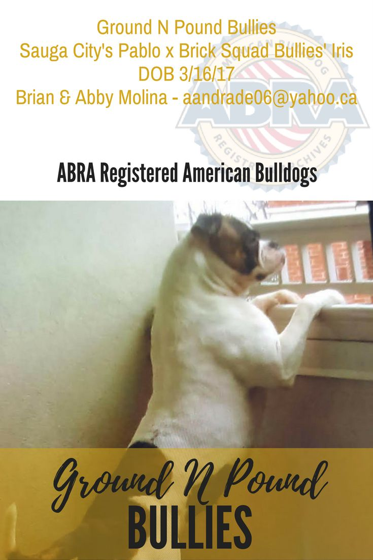American Bulldog Puppies in Toronto, Ontario, Canada  Congratulations Brian & Abby!  Ground N Pound Bullies Sauga City's Pablo x Brick Squad Bullies' Iris DOB 3/16/17 Brian & Abby Molina - aandrade06@yahoo.ca  www.abra1st.com/puppies-for-sale/