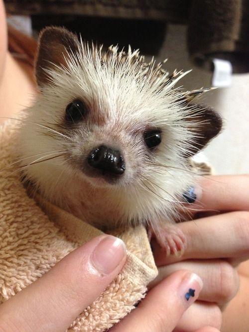 sweetie hedgehog.