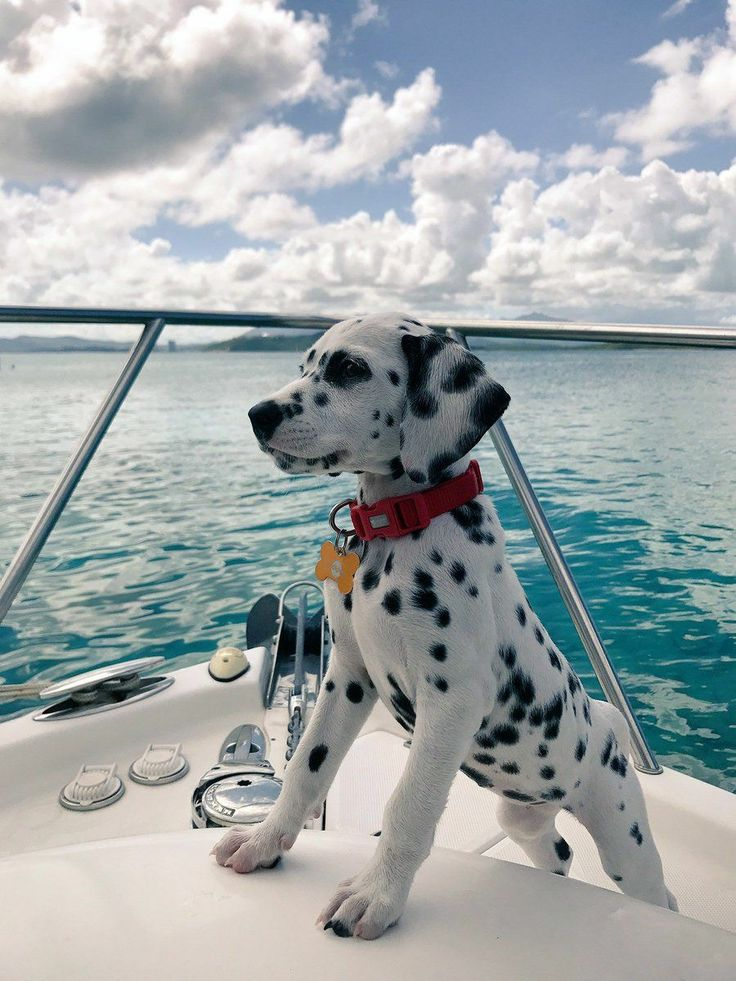 || A beautiful young Dalmatian keeps watch while on a boat at sea. Looks like the place to be in Fall & Winter. Question: Upon returning to shore, getting ones land legs back is tricky for us. With twice the legs, is it doubly hard for a dog to even stand up when first on dry land? ||
