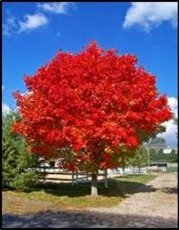 Image result for acer rubrum october glory