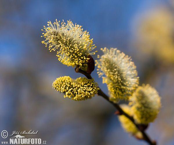Vrba jíva (Salix caprea L.) z čeledi vrbovitých
