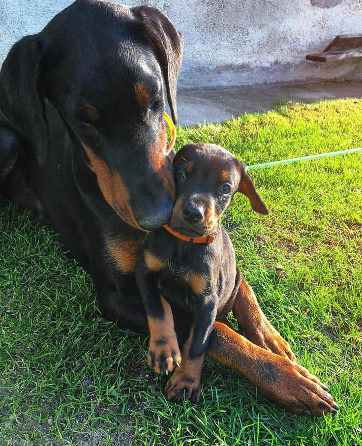 Love, sweet love. @donna_the_dobermann