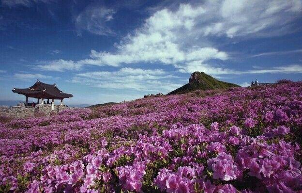 Royal Azalea Festival Hwangmae Mountain S Korea Southkoreatravelinfo Beautiful Places To Visit Beautiful Places Korea Tourism