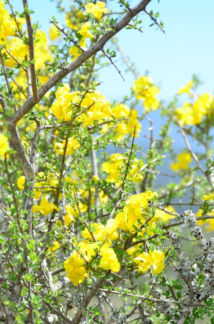 Rhigozum Obovata          Karoo Gold/Yellow Pomegranate      Geelberggranaat/Ystervarkbos         S A no 675