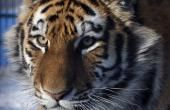 Environmental Preservation In Northeast China Brings Siberian Tigers Back From Extinction