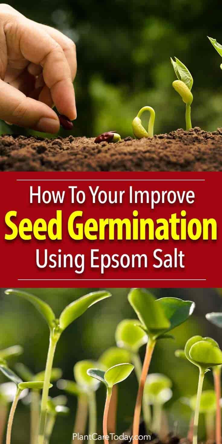 Epsom salts add these key micronutrient into the soil increasing seed germination rates. Studies show that Epsom salt (Magnesium sulfate) is beneficial to the plants from early on helping strengthen plant cell walls during germination.