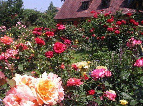 A rózsa ültetése tavasszal kertünkbe! Videóval