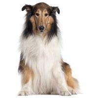scotch collie dog photo | Scotch Collie Collie, Scottish Collie, Long-Haired Collie, Farm Collie ...