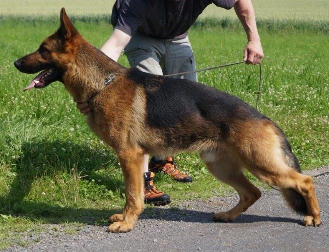 Family Protection dog for sale