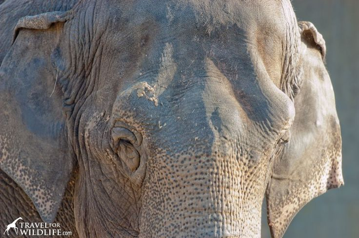 Responsible Tourism in Thailand: the Asian's Elephant's Tale http://travel4wildlife.com/responsible-tourism-thailand-asian-elephants-tale/#.Uum6APa3Je4
