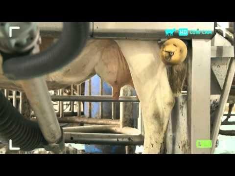 Rosie's World - Robotic Farming Cow Cam