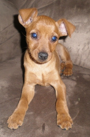 Min-Pin Puppy - looks like my baby but all brown :D