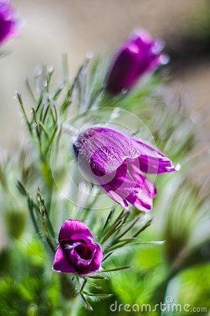 Close up of violet Pulsatilla flowers