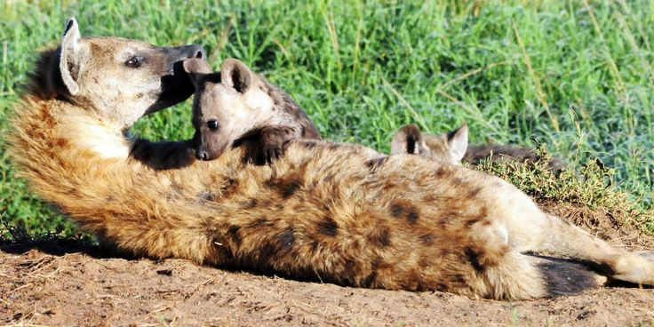 BBC - Earth - Powerful female hyenas say 'hello' with their genitals. In hyena societies, females are the leaders. Making a female your ally is a powerful social move and a high-ranking female will pass on this power to her offspring. A research group, looking into female-led spotted hyena societies, captured their unique group behaviour in these photographs.