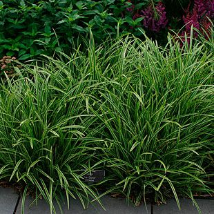 Carex morrowii 'Ice Dance'- Variegated sedge - fall leaf removal may be easy vs a vine ground cover.