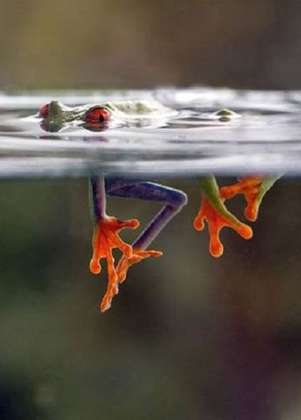 You never know what beauty is just below the surface.  A red-eyed tree frog underwater by Nicolas Reusens