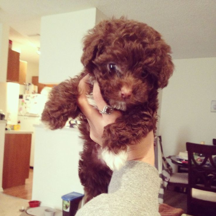 chocolate teacup maltipoo - photo #5